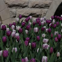 2014 City Hall Tulips-Peeping Violet Mix.jpg